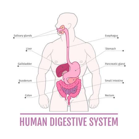 illustration médicale du système digestif humain. système pour les manuels scolaires. les organes internes.