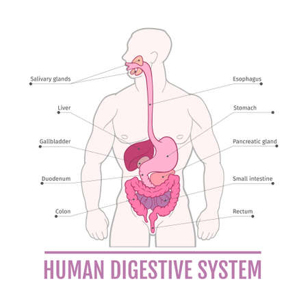 medical illustration of the human digestive system. scheme for textbooks. internal organs.