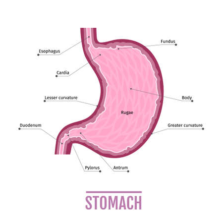 duodenal: medical illustration of the human stomach. scheme for textbooks. internal organs. Human anatomy Illustration