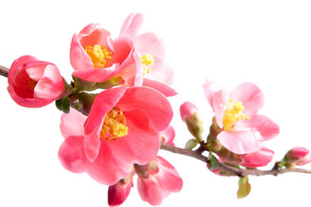 quince: Spring flowering quince Stock Photo