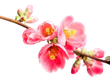 Spring flowering quince photo