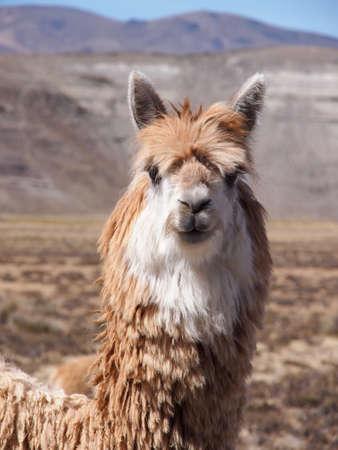 A Lama closeup in the desert of Peru