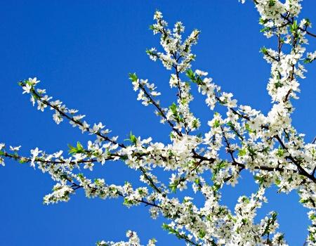 snow-white a flower on a cherry branch against the blue sky Stock Photo - 13566410