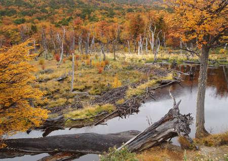 tierra del fuego: Beaver dam in Tierra del Fuego National Park near Ushuaia, Argentina.