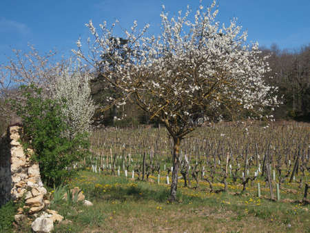chinon: Entry of a Chinon vineyard with an old stone wall and a tree in spring  Stock Photo