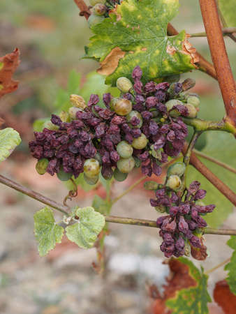 noble rot is a beneficial form of a grey fungus botrytis cinerea, it produces fine and concentrated wines Stock Photo - 15353815