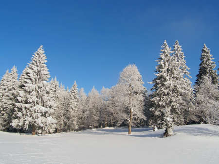 Fir trees, Jura Mountain in Winter, mont d or area