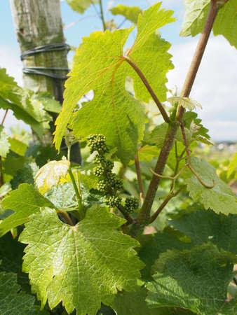 Coteaux du Layon � um famoso vinho branco doce Banco de Imagens