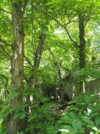 chestnut tree: chestnut tree undergrowth with mossy rocks in the background Stock Photo