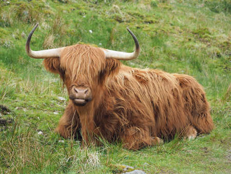 Highland cattle lying down in the grass, western Scotland