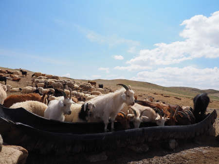 Livestock and Mongolia. Nomad herders are a way of life in rural Mongolia. Here the family gather water for there livestock. Stock fotó