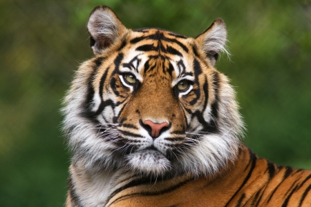 Portrait of bengal tiger staring  photo