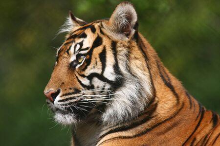 Portrait of a Tiger gazing sideways photo