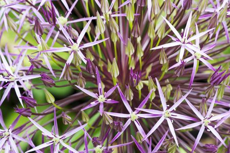 Macro image of purple Allium flower, selective focus useful for background or illustrating concepts
