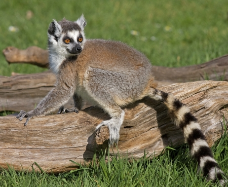 tailed: A ring tailed lemur sitting on a piece of wood on a summer s day  Stock Photo