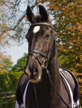 bridle: Portrait of a dressage horse with its saddle and bridle on