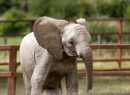 Infant elephant calf in local wildlife park  Stock Photo