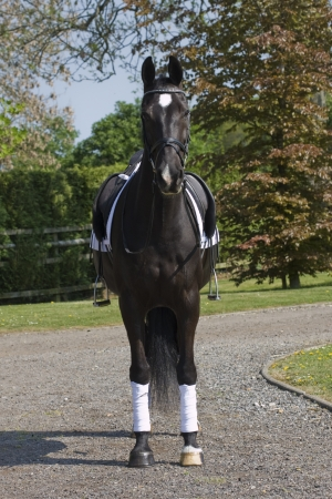 Black dressage horse standing on gravel  photo