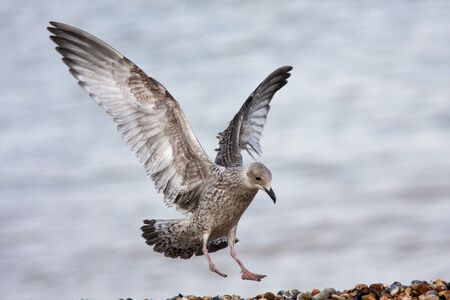Seagull coming into land onto a beach full of pebbles
