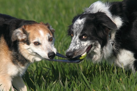 Two dogs playing tug with a ball Stock Photo