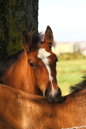 A Shire foal showing affection to another foal