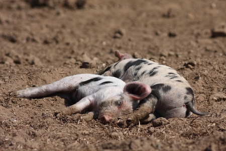 piglets: Two sibling piglets  top and tail  asleep in a row Stock Photo