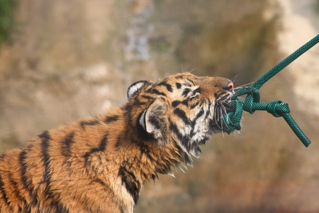 Baby tiger playing tug of war with a water hose
