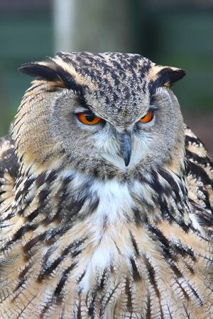 Eagle owl the largest owl of all, the European Eagle Owl Stock Photo