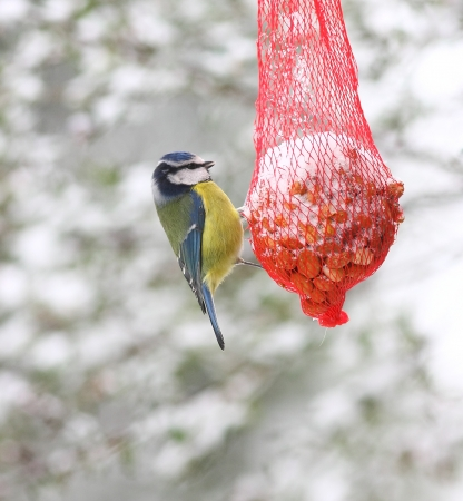 bird feeder: Blue tit feeding on a red net peanut feeder, in the snow at winter time