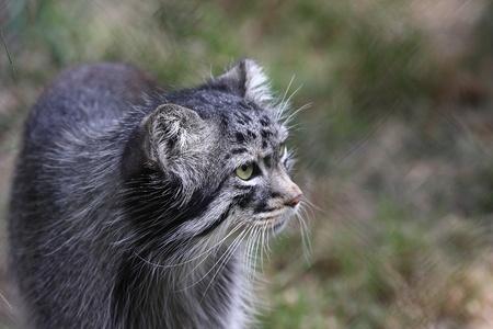 Pallas wildcat portrait