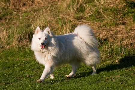 Beautiful funny Japanese Spitz walking in a park