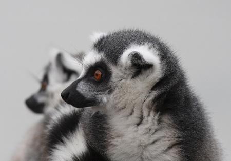 Lemur portrait Stock Photo