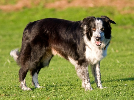 Border collie sheepdog Stock Photo - 16380210