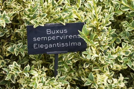 hedging: Buxus semperivirena Elegantissima, this garden shrubs is ideal for topiary and hedging