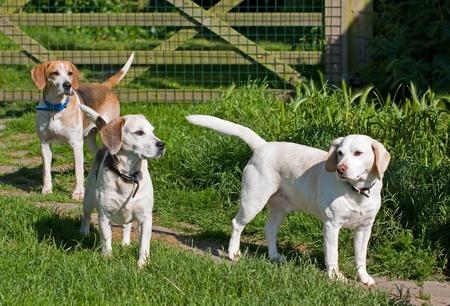 Three adult beagle dogs