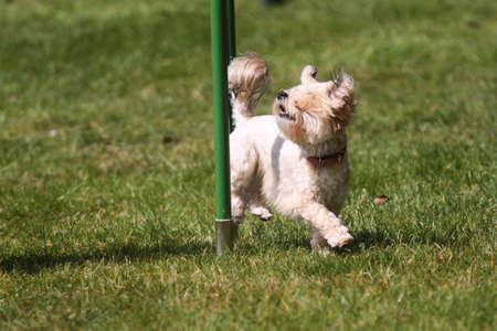 Small agility dog working the weave poles Stock Photo - 17054976