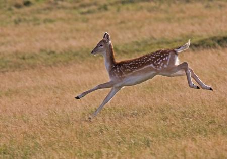 Wild female running Deer Stock Photo