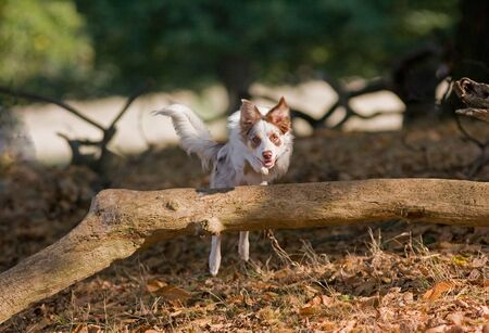 Purebred collie jumping over a log in the woods on a summer s day