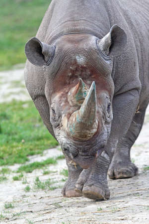 A charging rhinoceros in a wildlife conservation refuge