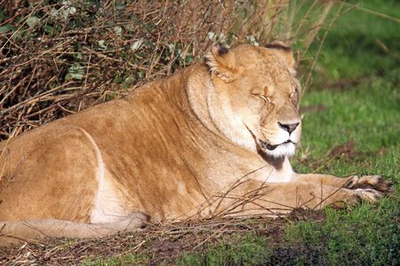 Rare African lion with closed eyes and calm facial expression resting and sleeping