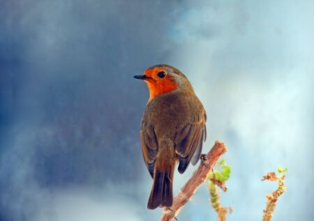 Robin  Erithacus rubecula  with a stormy weather background