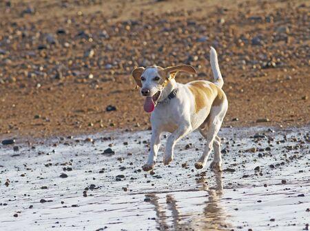 Beagle dog enjoying a evening run on the beach