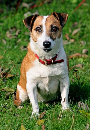 jack russel: Healthy elderly Jack russel dog Stock Photo