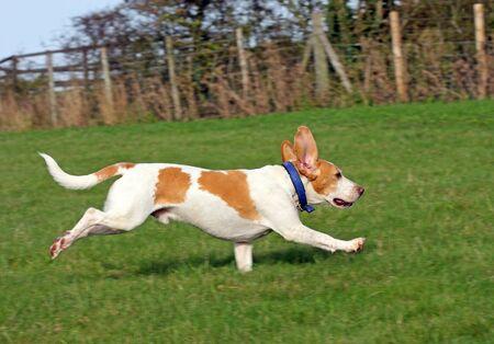Healthy, happy, running Beagle dog