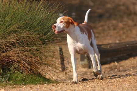 perro corriendo: Pointer alemán de pelo corto perro corriendo libre del cable en busca de su dueño
