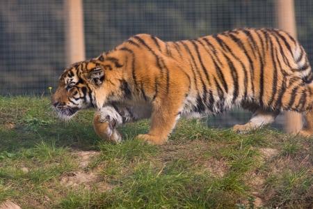 Prowling Tiger Cub