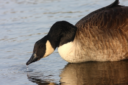 A Canada Goose drinking from the lake in the evening light, with a water drip, reflection, and ripples in the water