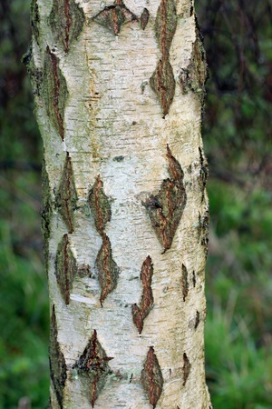 Textured silver birch bark close up