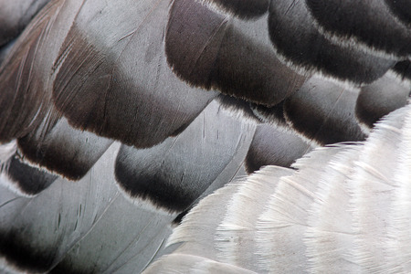 Macro black and white detailed bird feathers