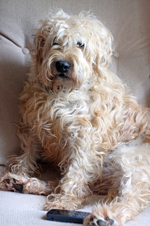 Wheaten Terrier dog sitting in a chair with a mobile phone at his feet Stock Photo - 24802906